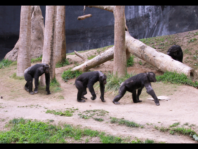 Chimps-vis